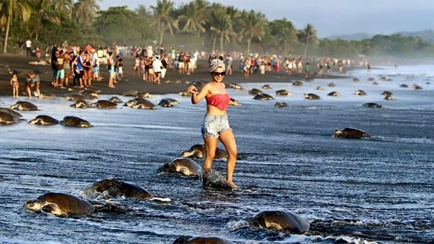 Costa Rican officials say that snap-happy visitors are interfering with the nesting habits of a vulnerable sea turtle species.