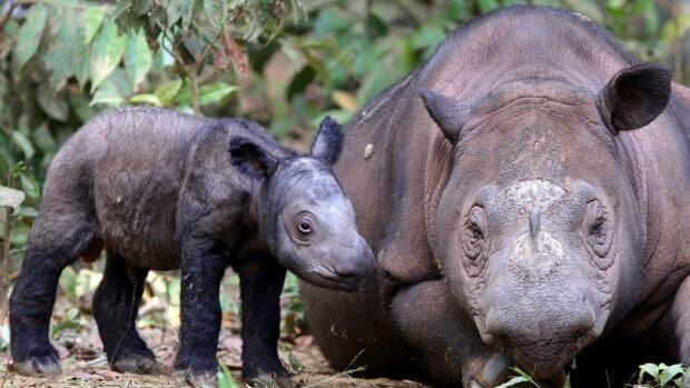Ratu, a female Sumatran rhino, is seen with her first calf three years ago in Lampung, Indonesia. Ratu is now pregnant with a second baby, a rare feat for a breeding facility in Asia and a part of an effort to stave off the species's extinction.