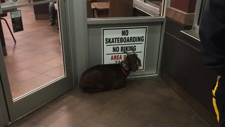 Goat 'arrested' at Tim Hortons was possibly kidnapped