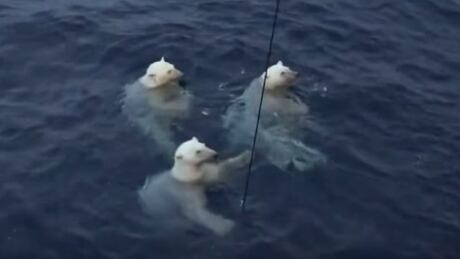 Polar bears panic Canadian researchers in Beaufort Sea by chewing on equipment