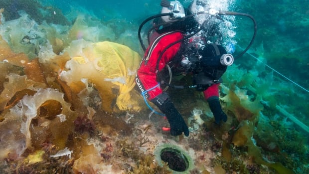 Parks Canada underwater archeologist Charles Dagneau cuts kelp near the opening from an illuminator on the surface of the upper deck of HMS Erebus.