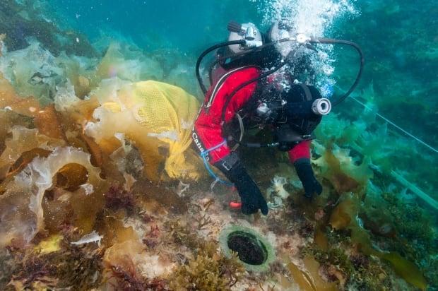 Clearing kelp off HMS Erebus