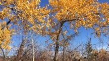 Fall leaves hanging on in Edmonton's river valley.