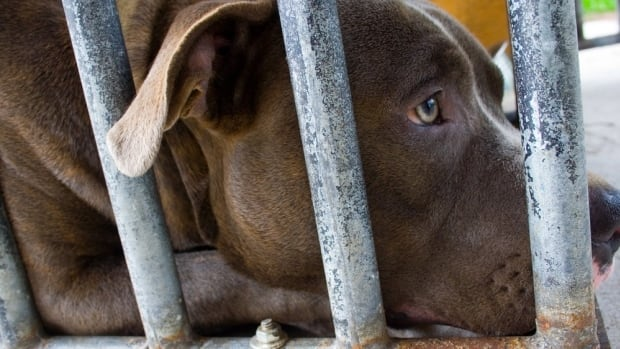Animal rights activists are protesting an application by the Ontario SPCA to euthanize 21 dogs seized during an alleged dogfighting ring near Tilbury.