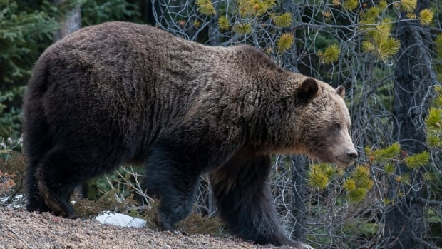 The number of grizzly bears in the Foothills east of Banff and Jasper National parks has doubled over the past decade, the study by fRI Research found.