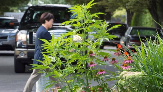 Marijuana, seen here growing in the middle of a residential street, could soon be legalized under the Trudeau Liberals.