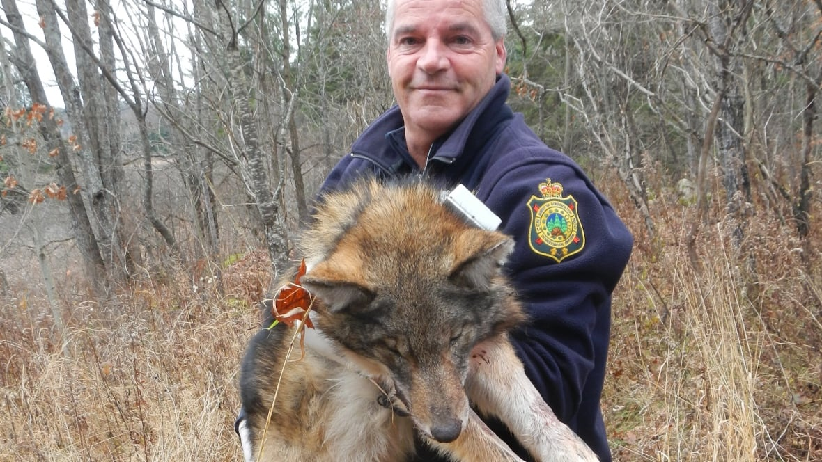 Eastern Coyote A Wolf Hybrid Confirmed In Gatineau Park
