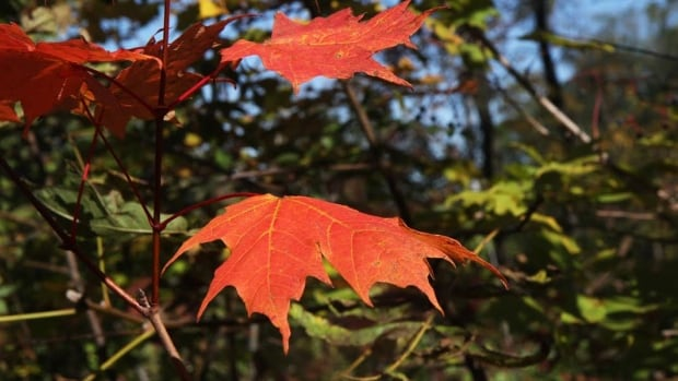 They're nice to look at, by why do leaves turn red in the fall? That's up for debate.
