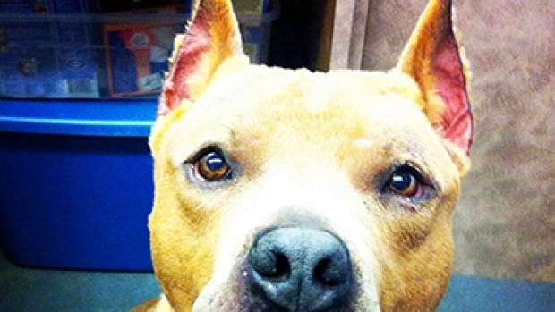 Elvis is a dog that came into the B.C. SPCA's care with cropped ears.