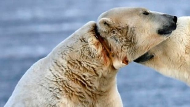 A photo that has been shared on social media shows a polar bear apparently injured by a too-tight radio collar. Naturalist and guide Susan Adie says the photographer wishes to remain anonymous, but said it was taken taken in Kaktovik in eastern Alaska, along the coast of the southern Beaufort Sea.