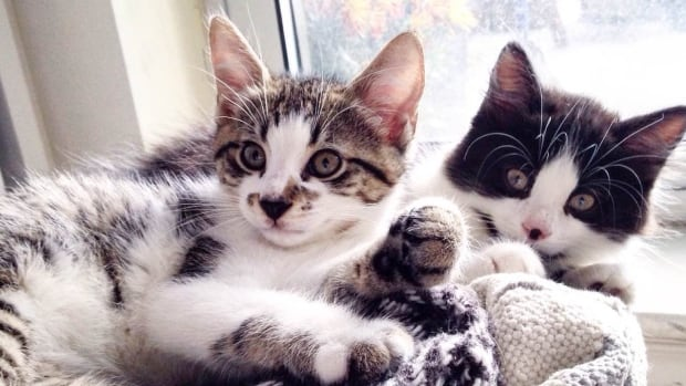 Dali and Galla are two of the kittens that will visit Toronto offices on Thursday.