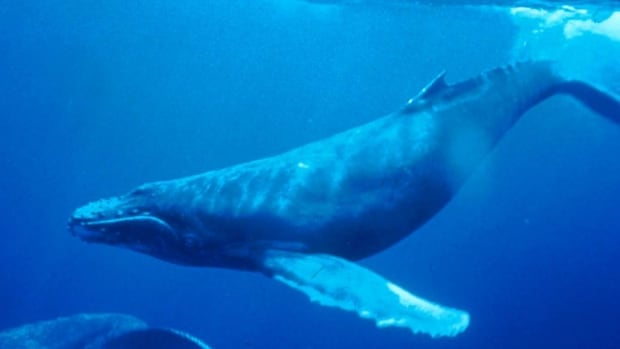 Humpback whale populations have been increasing since they were protected in 1965.