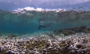 Bleaching on coral reefs in American Samoa.