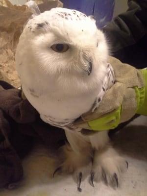 Captured snowy owl