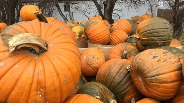 Lumsden valley pumpkins