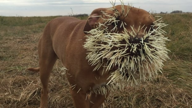 Nestah received a muzzle full of porcupine quills in an unfortunate encounter last month.