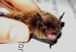 carleton, bats, tansley, university