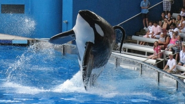 Tillikum, seen here performing at SeaWorld Orlando in 2009, is in deteriorating health.