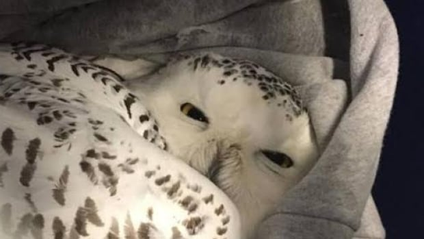 In a Facebook post, the N.W.T. Department of Environment and Natural Resources said several snowy owls have been found in weak and lethargic conditions.