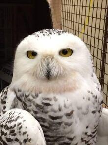 Snowy Owl Northwest Territories