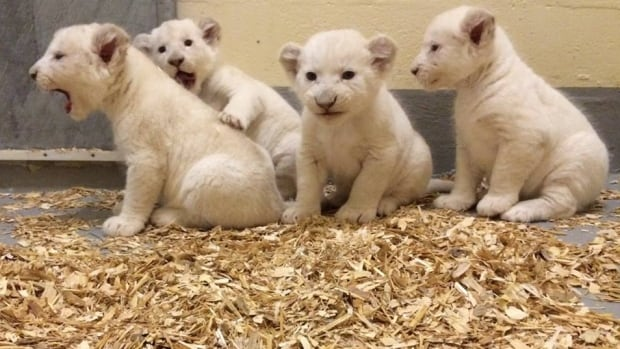 These four white lions cubs were born in September at the Toronto Zoo. They've got a long way to go before they grow into their paws.
