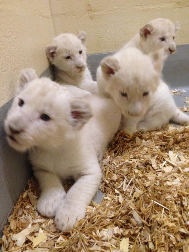 Toronto Zoo white lion cubs