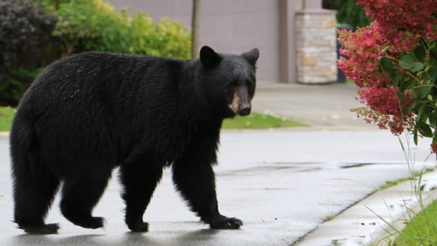A black bear wanders through a suburban neighbourhood in Port Moody in 2015. The North Shore Black Bear Society says the organization got its first bear sighting call of 2016 on Monday morning.
