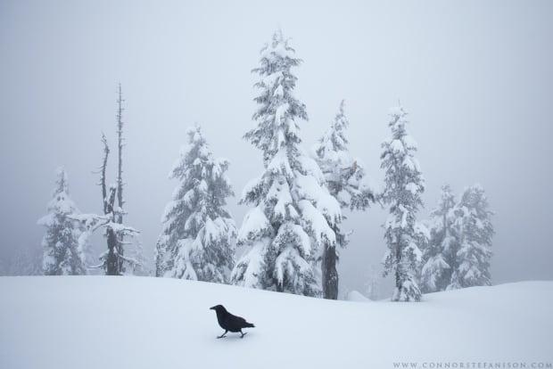 Raven Strut - Connor Stefanison