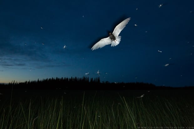 Aerial Buffet - Connor Stefanison