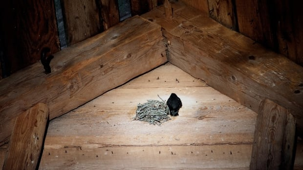 A mother chimney swift and her nest inside a barn.