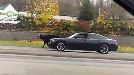 Cow shot Abbotsford