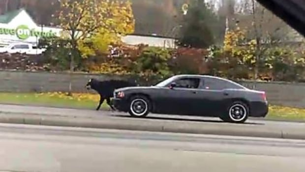 Josh Van Koll witnessed police following a runaway cow up Sumas Way in Abbotsford.
