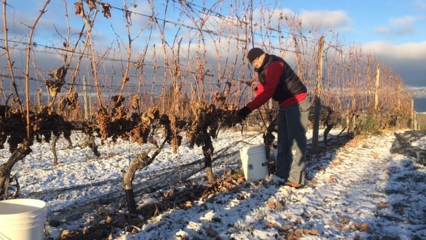 Picker Alex Roth was out early on Thurday harvesting grapes for ice wine and late harvest wine at Sperling Vineyards in Kelowna.