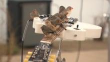 Birds play guitar