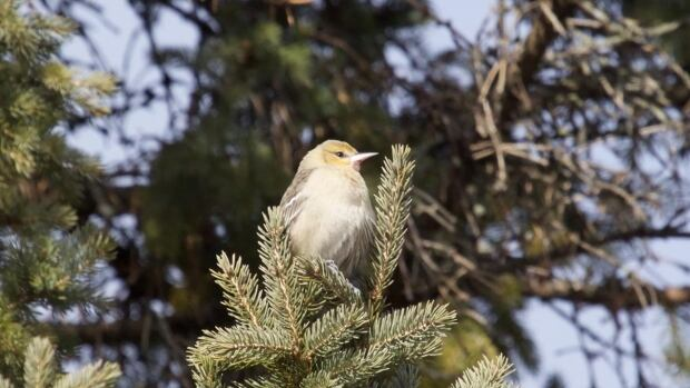 Spotted in Pakenham, Ont., in the fall, this small bird was believed to be a Bullock's oriole. DNA testing, however, has proved otherwise.