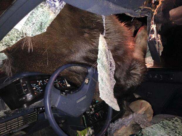 Moose through windshield