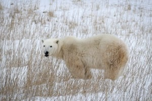 Churchill MB polar bear Nov 2015 in the grass
