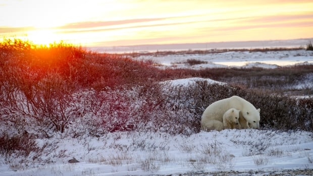 A Manitoba Conservation official has seen evidence of wolves successfully hunting a polar bear cub near Hudson Bay.