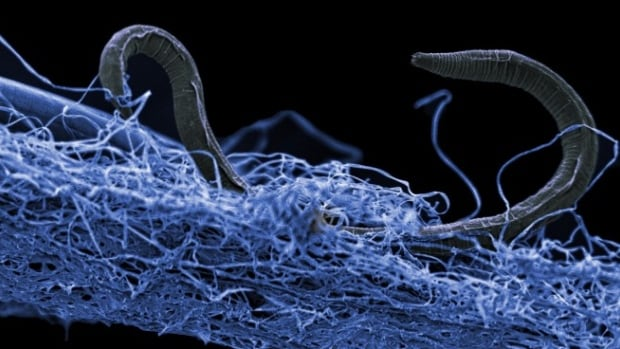 A roundworm on biofilm was among the organisms collected from Kopanang gold mine in South Africa, 1.4 kilometres below the surface.