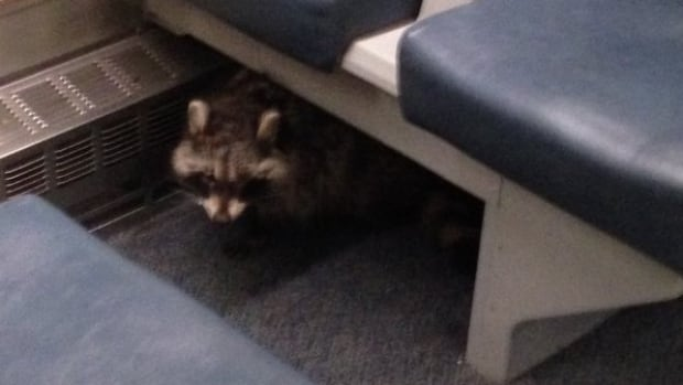 Transit officer Tyler Kay says in his six years with GO Transit, he has never seen a raccoon on a train before.