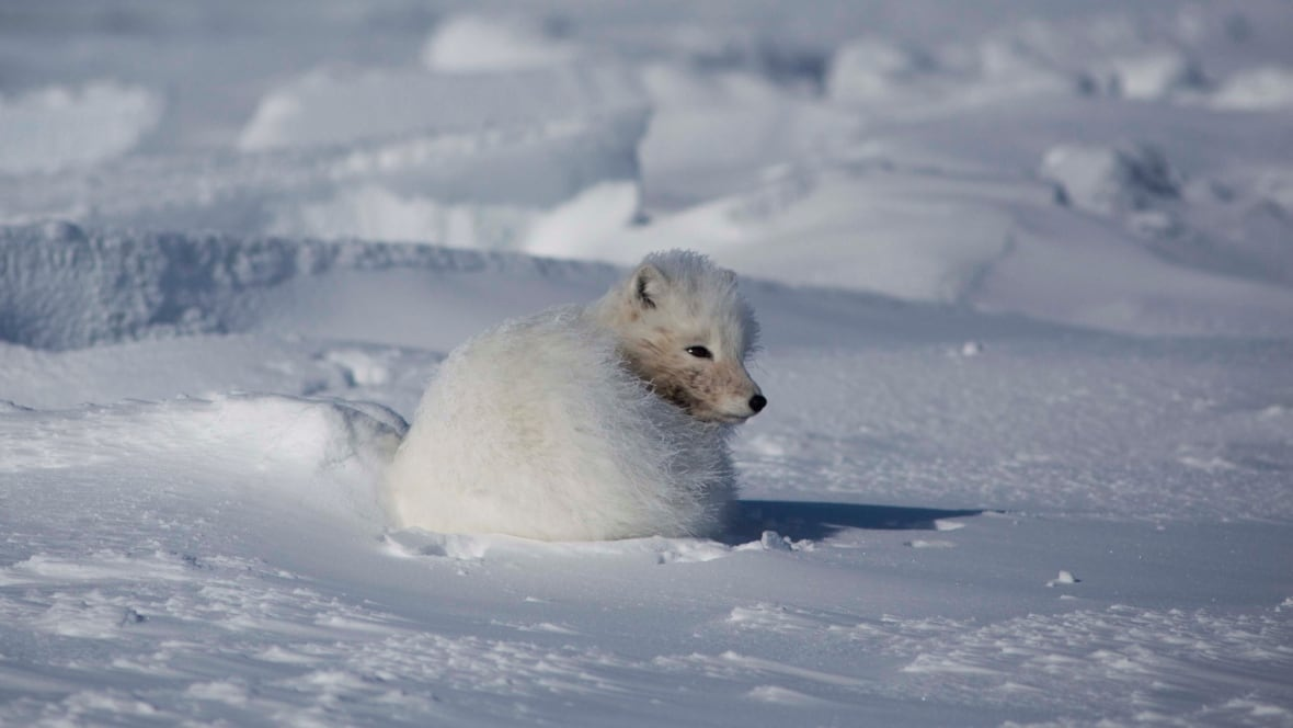 Nunavut Hunter Falls Through Ice Makes Pants Out Of A Fox