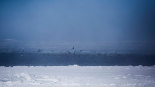 Eider ducks fly over a polynya near Sanikiluaq, Nunavut. Polynya are areas of open water surrounded by sea ice, and are important for the survival of Arctic species such as narwhal and beluga.