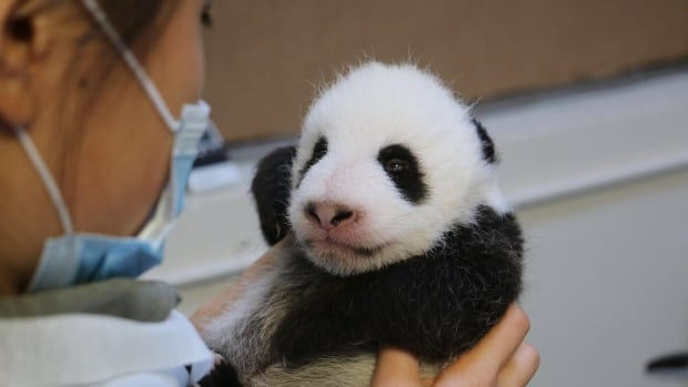 Pandas at the Toronto Zoo respond relatively well to fertility treatments, says the zoo's reproductive physiologist.