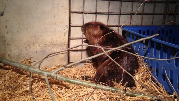 The beaver in its new home at the Aspen Valley Wildlife Sanctuary in Rosseau, Ont., on Wednesday afternoon.