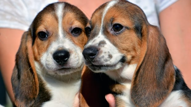 Mandatory one-year pesticide safety testing may have led to the death of 100s of beagles yearly, says PETA.
