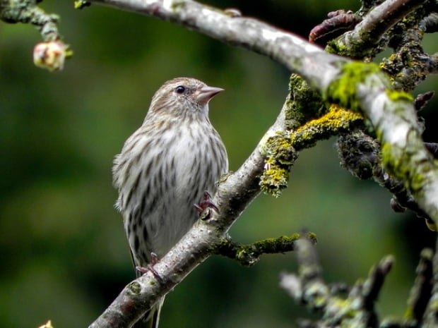 pine siskin christmas bird count