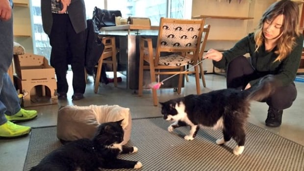 Some members of the public had early access into Vancouver's first cat café where you can grab a java and play with kittens.