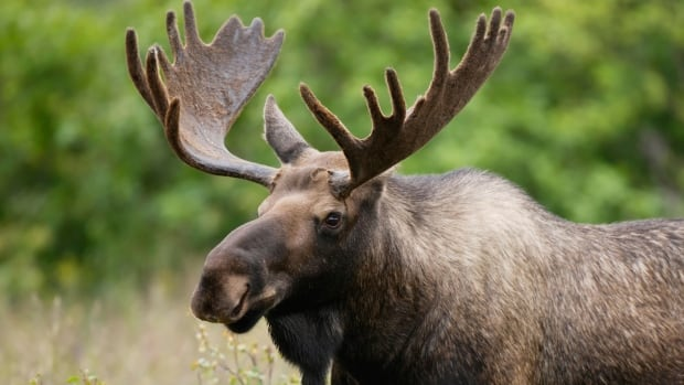 50 hunters, plus assistants, were flown on daytrips to hunt moose in remote areas of Gros Morne National Park.