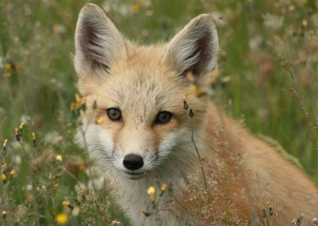 Melissa Gray fox photo PEI