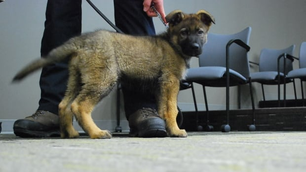 Helo, a 14-week-old German shepherd puppy, died on Monday after complications from surgery.